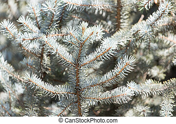 pine tree branch in nature