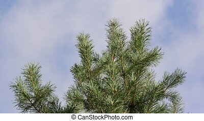 pine tree branch sky - pine tree branch move in wind closeup...
