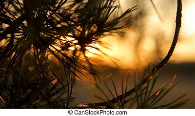 Pine tree branches with needles on sunset against the sky backlight