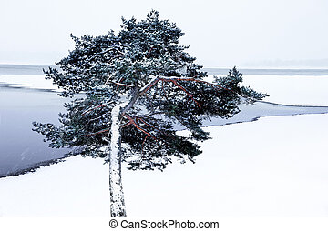 pine tree by lake in winter