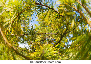 Pine tree close-up of needles and branches