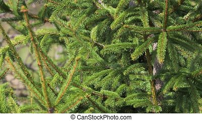 Pine Tree Closeup - Pine tree brances in the wind