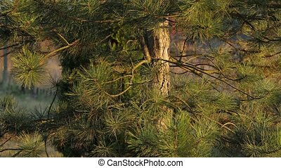 Pine tree closeup shot - Forest detail with pine trees in...