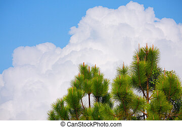 pine tree, cloud and sky