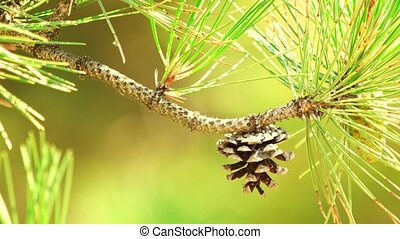 Pine tree cone on branch close up. Nature landscape...