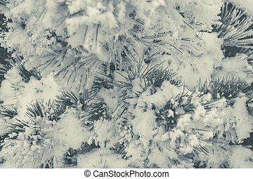Pine Tree Covered by Frost