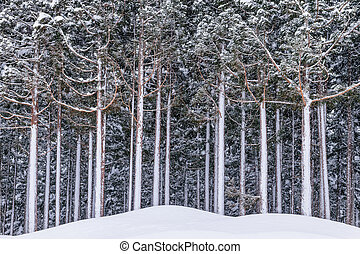 Pine tree covered by snow in winter.