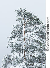 Pine tree covered with dense snow.