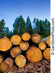 pine tree felled for timber industry in Tenerife - pine tree...