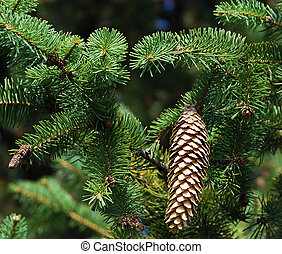 pine tree Fir branches with cones