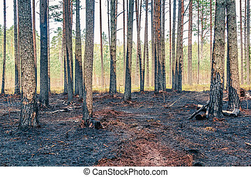 Pine tree forest after wildfire in spring