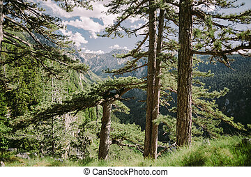 pine tree forest in mountains with beautiful scenery
