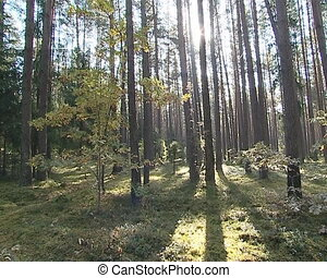 Pine tree forest mossy ground and sunlight.