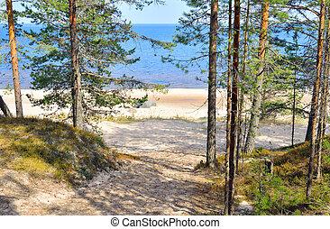 Pine tree forest on coast of Ladoga lake.