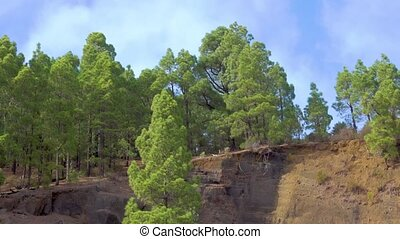 Pine tree forest on mountainside and fast moving of clouds...