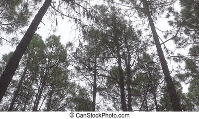 Pine Tree Forest - Wind in Pine Tree Forest - Rocking trunks