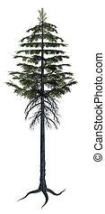Pine Tree - Full Pine tree on a white background