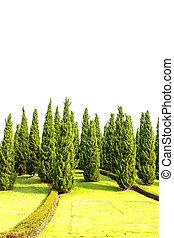 Pine tree in a garden