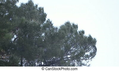 pine tree in a windstorm - a large pine is blown about in a...