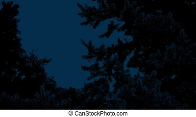 Pine Tree In Breeze At Night