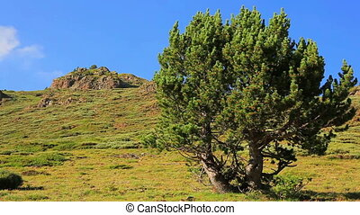Pine tree in mountains.