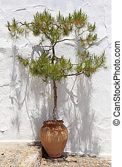 pine tree in old clay pot