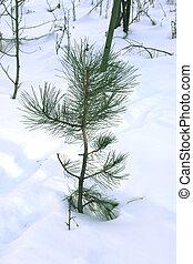 Pine Tree in Snow