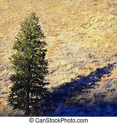 Pine Tree in Sunlight
