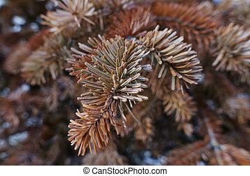pine tree in the garden