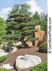 Pine tree in the Japanese garden