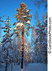Pine tree in winter