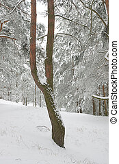 Pine tree in winter forest