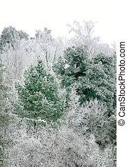 Pine tree in winter landscape