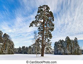 Pine-tree in winter park