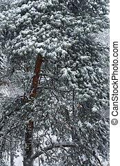Pine tree in winter.
