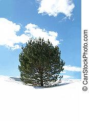 Pine Tree in Winter Snow