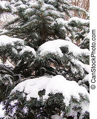 pine-tree in winter