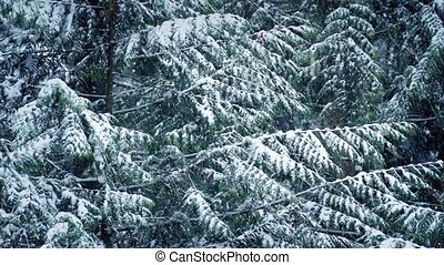 Pine Tree In Winter With Snow Falling