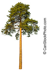 Pine tree isolated on a white background.
