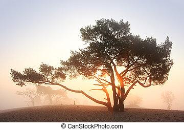 pine-tree, levers de soleil