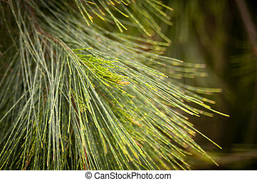 Detail of pine tree needles in shallow focus