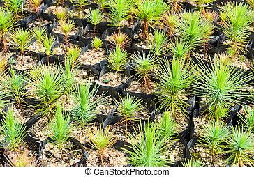 Pine tree nursery for reforestation