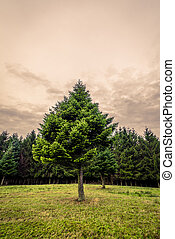 Pine tree on a green meadow