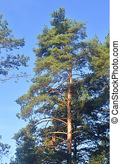 Pine tree on a sunny day.