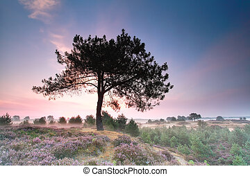 pine tree on hill with flowering heather at sunrise