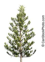 Pine tree on isolated