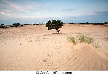 pine tree on sand dunes at sunset