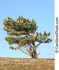 pine tree on sky background
