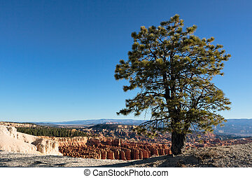 Pine tree on the edge of Bryce Canyon
