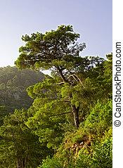 Pine tree on the mountain